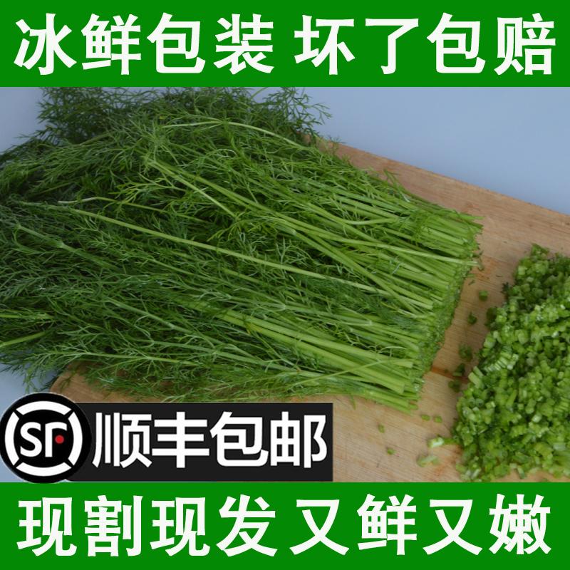 顺丰包邮4斤小茴香菜新鲜山东特产蔬菜荤香嫩茴香苗回香2斤不带根